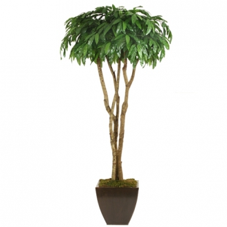 6.5 Mango Canopy Tree in Medium Square Bronze Metal Contempo Planter
