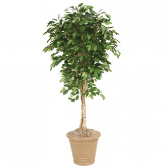 6 Ficus Tree in Small Sierra Beige Terra Cotta Garden Planter