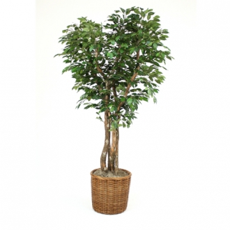 7 Canopy Ficus Tree in X-Large Stained Tree Basket with Rolled Top Rim