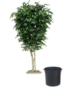 9' Topiary Ficus Tree in Black Plastic Nursery Liner