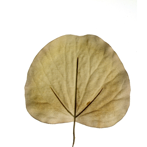DIY Foliage 7'L Artificial Galax Leaf (Pack of 144; 1728/Case)