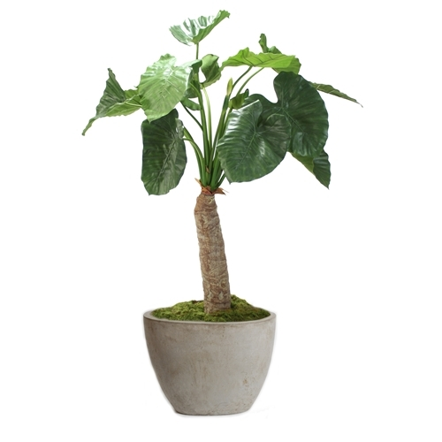 Alocasia Calidoro Floor Plant in Planter