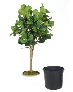 6' Fiddle Leaf Fig Tree in Black Plastic Nursery Liner