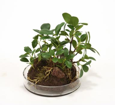 Silk Small Ficus Bonzai Tree Garden in Round Glass