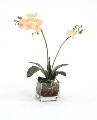 Waterlook ® Silk Cream-Pink Phalaenopsis Plant in a Square Glass Cube