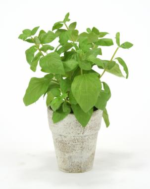 Silk Basil Spray in Brushed Antique White Clay Pot