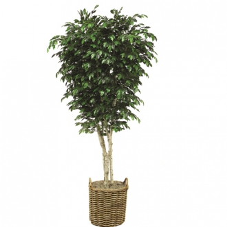 9 Topiary Ficus Tree in Stained Round Core Rattan Basket with Handles