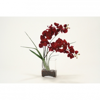 Red velvet phalaenopsis orchid in glass vase