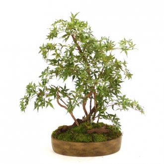 Silk Japanese Maple Bonsai Tree in Oval Ceramic Tray