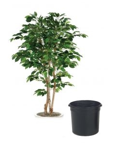 6' Bushy Ficus Tree in Black Plastic Nursery Liner