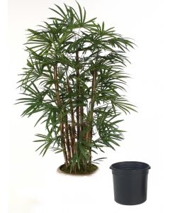6' Lady Palm Tree in Black Plastic Nursery Liner