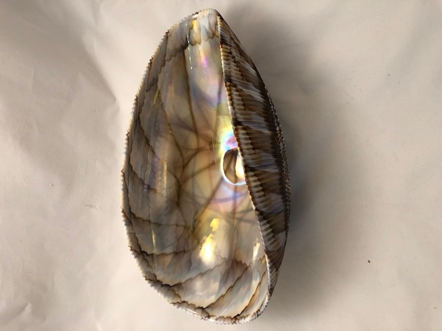 Large Shell Murano glass Ivory and chocolate  folded bowl